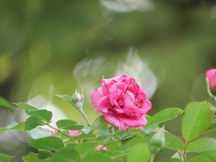 ツルうらら(Urara Climbing)の2番花が増えてきた。ツルバラ。2020年-032.jpg
