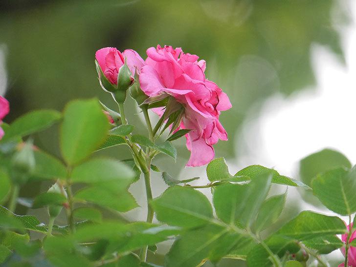 ツルうらら(Urara Climbing)の2番花が増えてきた。ツルバラ。2020年-033.jpg
