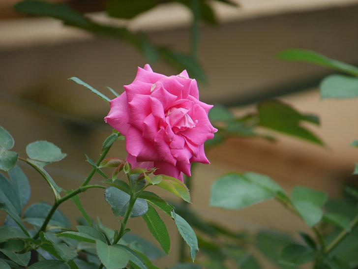 ツルうらら(Urara Climbing)の夏花が咲いた。ツルバラ。2020年-001.jpg