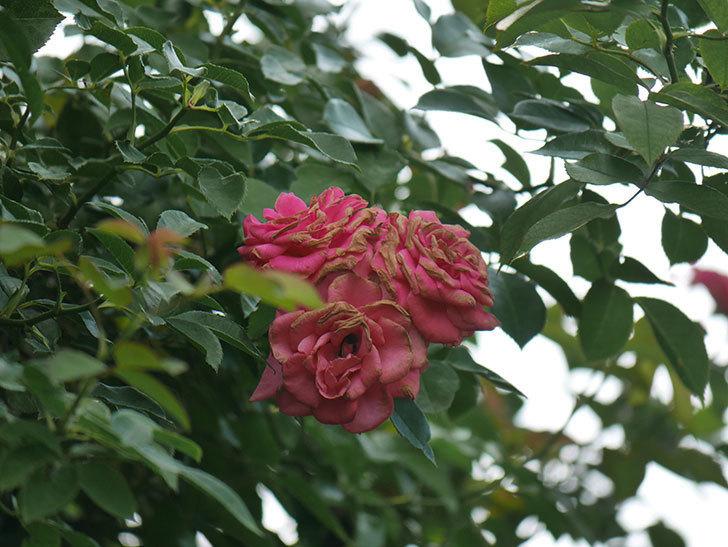 ツルうらら(Urara Climbing)の夏花が咲いた。ツルバラ。2020年-004.jpg