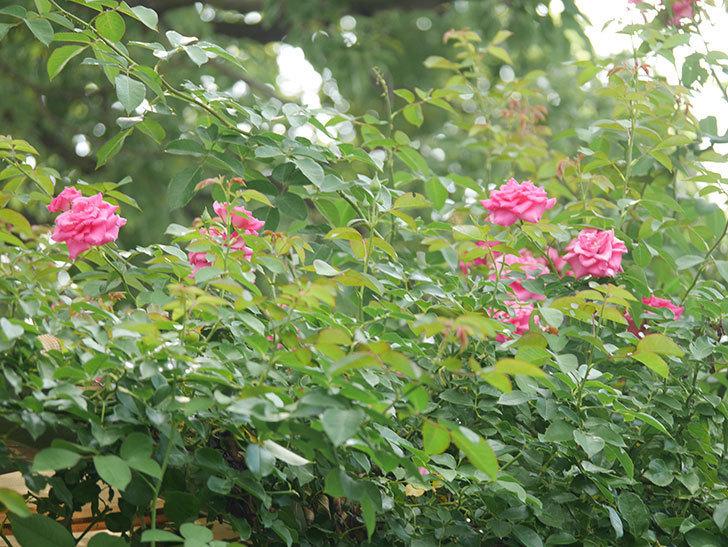 ツルうらら(Urara Climbing)の夏花が咲いた。ツルバラ。2020年-005.jpg