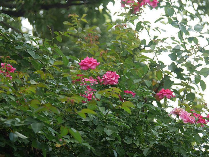 ツルうらら(Urara Climbing)の夏花が咲いた。ツルバラ。2020年-006.jpg