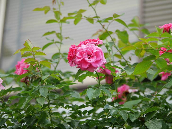 ツルうらら(Urara Climbing)の夏花が咲いた。ツルバラ。2020年-009.jpg