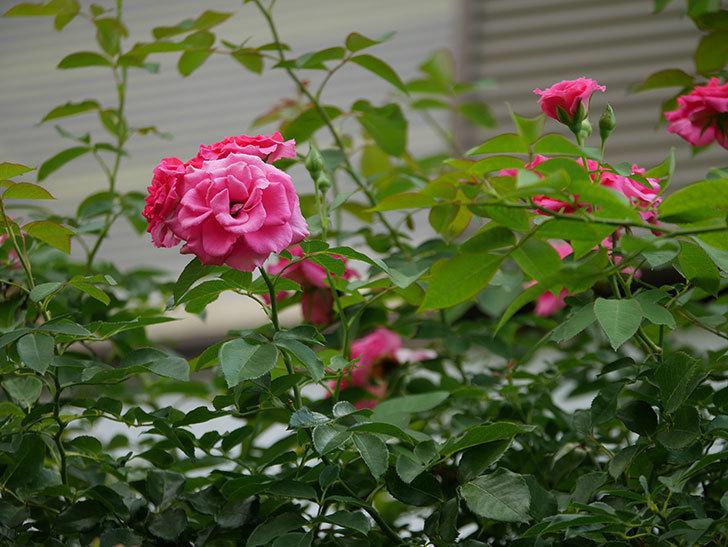 ツルうらら(Urara Climbing)の夏花が咲いた。ツルバラ。2020年-010.jpg