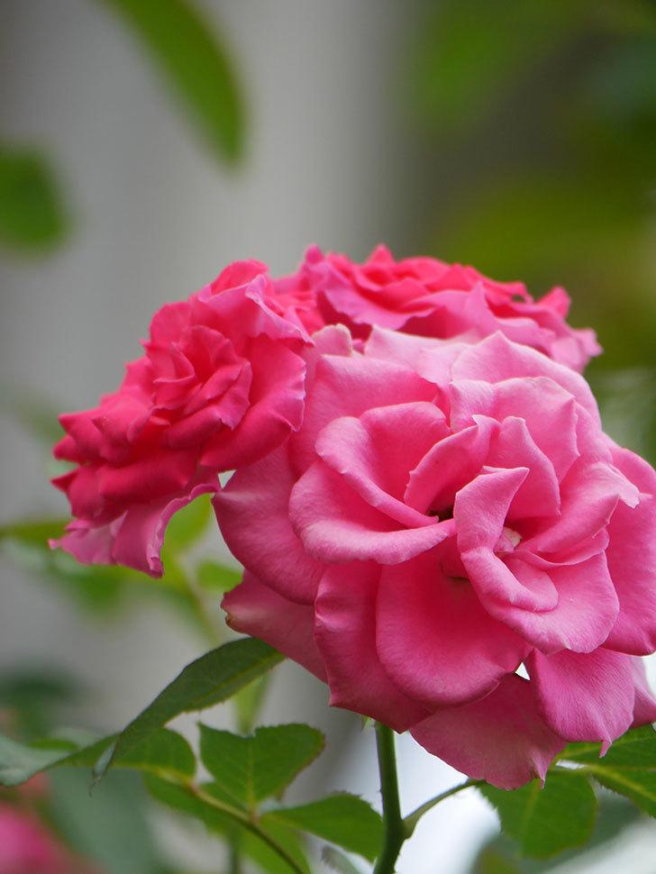 ツルうらら(Urara Climbing)の夏花が咲いた。ツルバラ。2020年-013.jpg