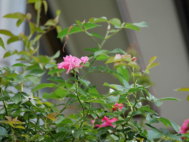 ツルうらら(Urara Climbing)の夏花が咲いた。ツルバラ。2020年-019.jpg