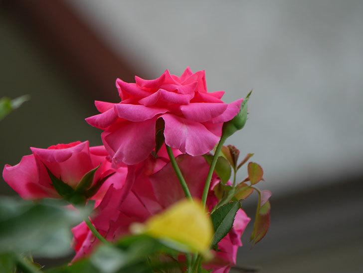 ツルうらら(Urara Climbing)の夏花が咲いた。ツルバラ。2020年-020.jpg