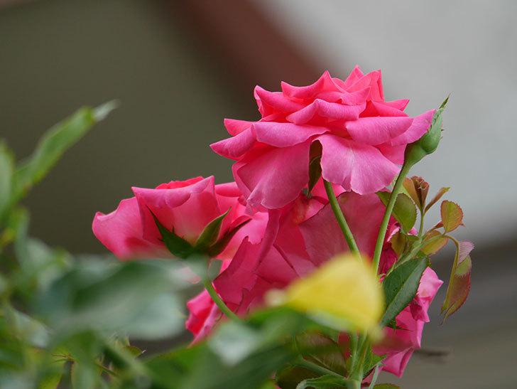 ツルうらら(Urara Climbing)の夏花が咲いた。ツルバラ。2020年-021.jpg