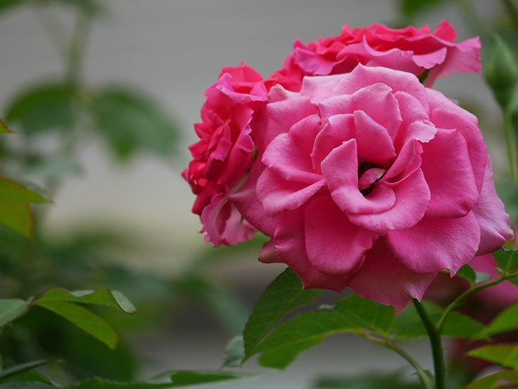 ツルうらら(Urara Climbing)の夏花が咲いた。ツルバラ。2020年-022.jpg
