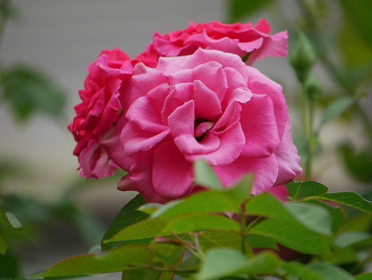 ツルうらら(Urara Climbing)の夏花が咲いた。ツルバラ。2020年-023.jpg