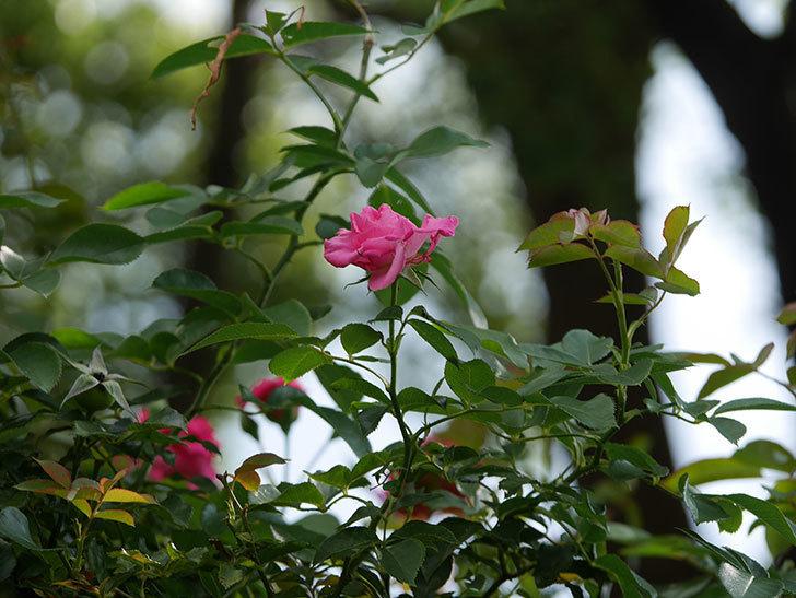 ツルうらら(Urara Climbing)の夏花が咲いた。ツルバラ。2020年-024.jpg