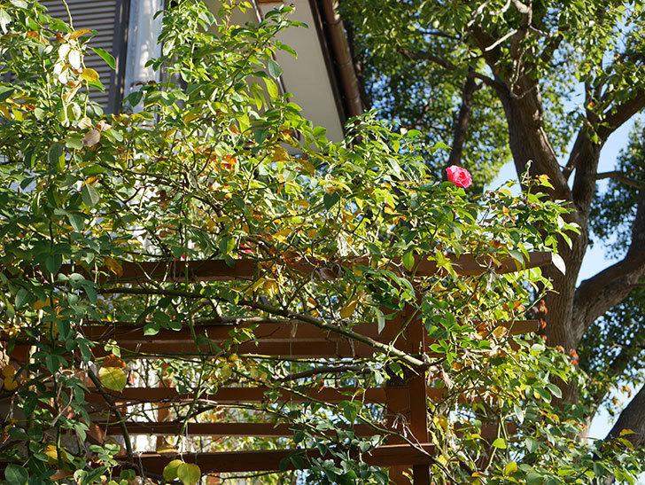 ツルうらら(Urara Climbing)の秋花がまた咲いた。ツルバラ。2020年-006.jpg