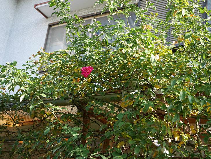 ツルうらら(Urara Climbing)の秋花がまた咲いた。ツルバラ。2020年-007.jpg