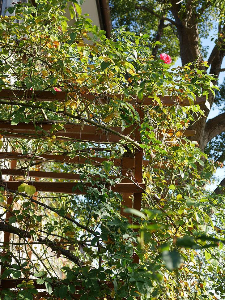 ツルうらら(Urara Climbing)の秋花がまた咲いた。ツルバラ。2020年-008.jpg