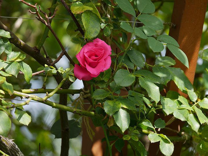 ツルうらら(Urara Climbing)の秋花が咲いた。ツルバラ。2020年-004.jpg