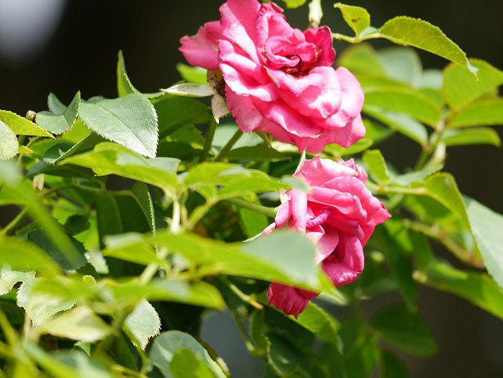 ツルうらら(Urara Climbing)の秋花が咲いた。ツルバラ。2020年-009.jpg