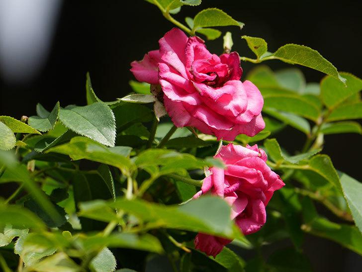 ツルうらら(Urara Climbing)の秋花が咲いた。ツルバラ。2020年-010.jpg