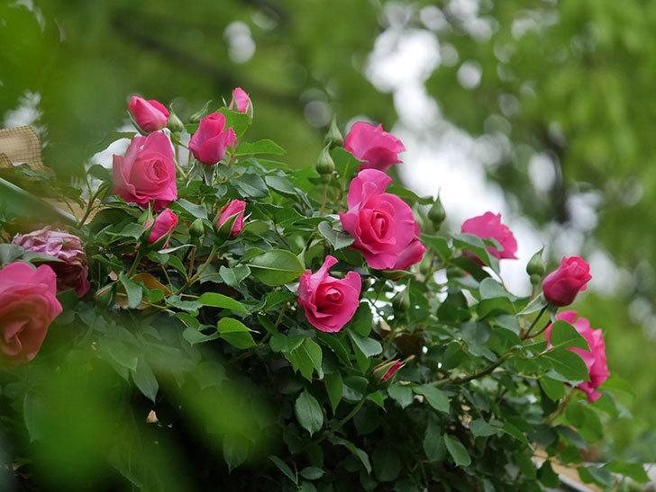 ツルうらら(Urara Climbing)の花がかなり咲いた。ツルバラ。2021年-001.jpg