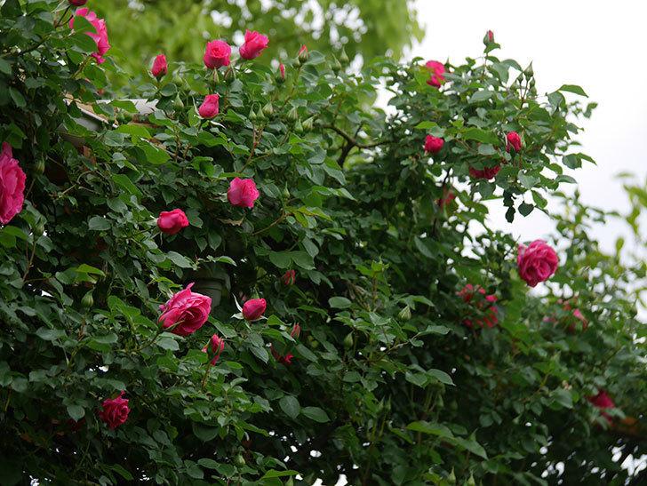ツルうらら(Urara Climbing)の花がかなり咲いた。ツルバラ。2021年-004.jpg