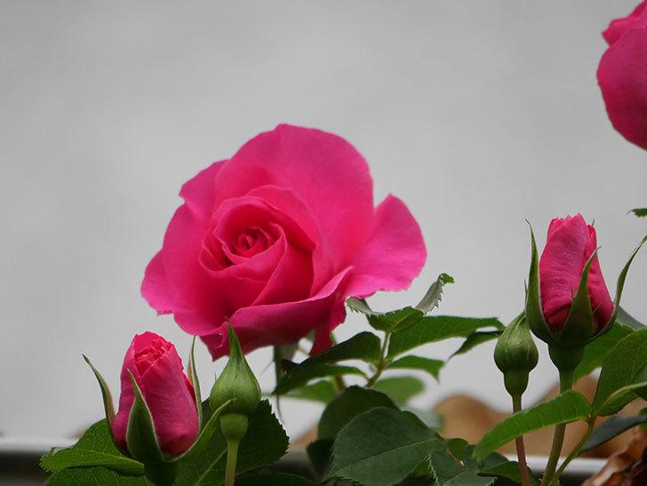 ツルうらら(Urara Climbing)の花がかなり咲いた。ツルバラ。2021年-006.jpg