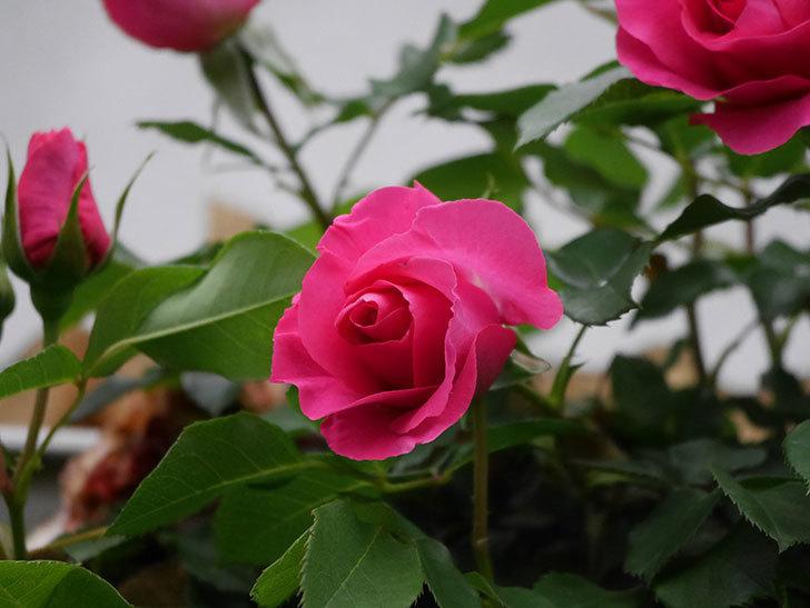 ツルうらら(Urara Climbing)の花がかなり咲いた。ツルバラ。2021年-007.jpg