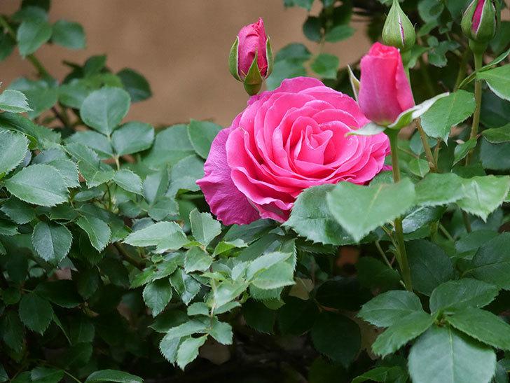 ツルうらら(Urara Climbing)の花がかなり咲いた。ツルバラ。2021年-008.jpg