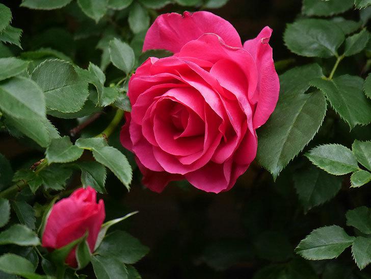 ツルうらら(Urara Climbing)の花がかなり咲いた。ツルバラ。2021年-009.jpg