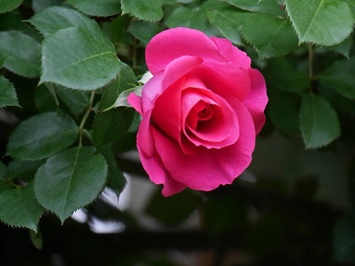 ツルうらら(Urara Climbing)の花がかなり咲いた。ツルバラ。2021年-010.jpg