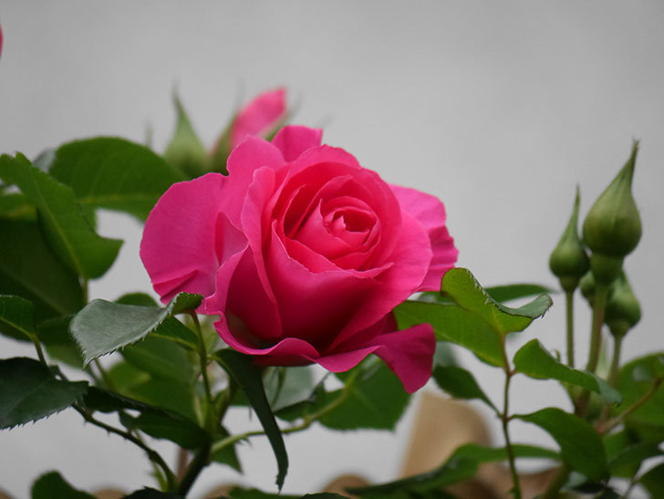 ツルうらら(Urara Climbing)の花がかなり咲いた。ツルバラ。2021年-011.jpg