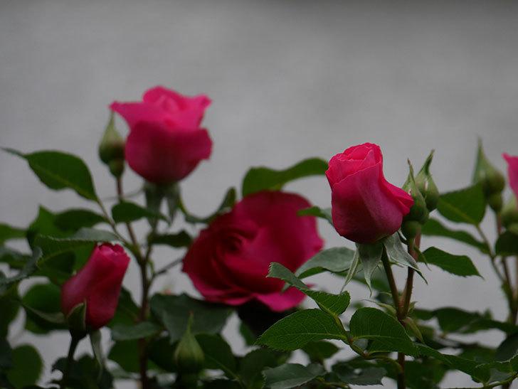 ツルうらら(Urara Climbing)の花がかなり咲いた。ツルバラ。2021年-012.jpg