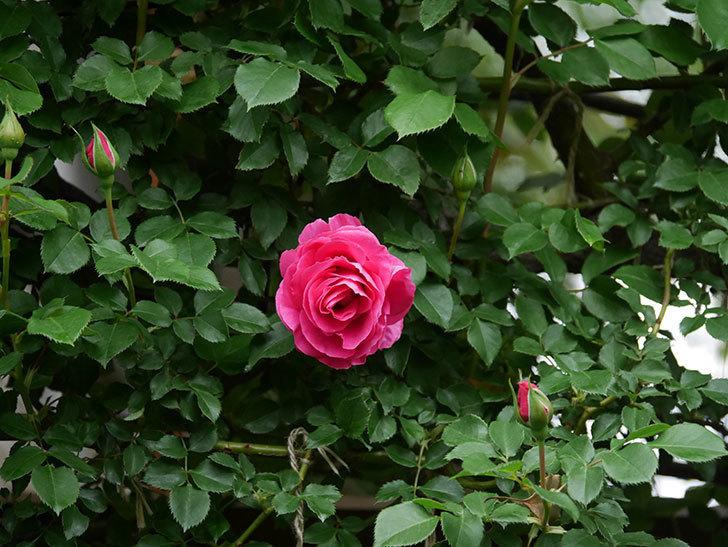 ツルうらら(Urara Climbing)の花がかなり咲いた。ツルバラ。2021年-013.jpg