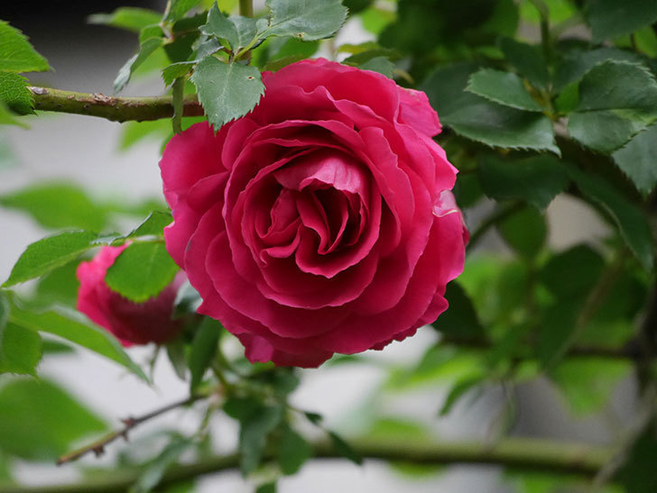 ツルうらら(Urara Climbing)の花がかなり咲いた。ツルバラ。2021年-014.jpg