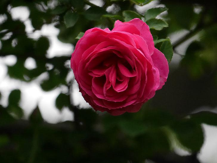 ツルうらら(Urara Climbing)の花がかなり咲いた。ツルバラ。2021年-015.jpg