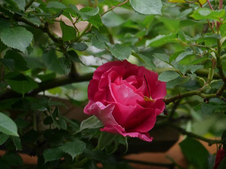 ツルうらら(Urara Climbing)の花がかなり咲いた。ツルバラ。2021年-016.jpg