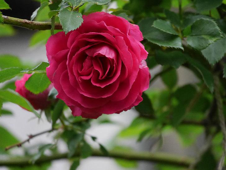 ツルうらら(Urara Climbing)の花がかなり咲いた。ツルバラ。2021年-017.jpg