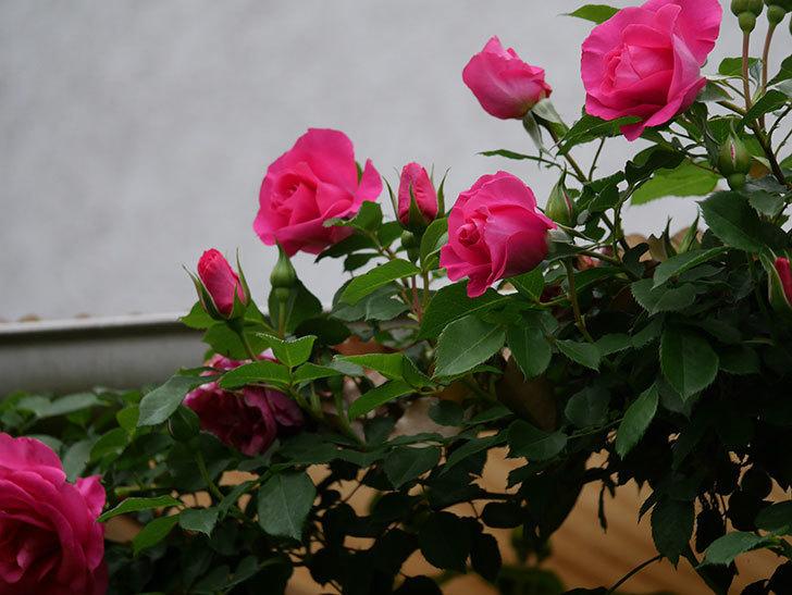 ツルうらら(Urara Climbing)の花がかなり咲いた。ツルバラ。2021年-018.jpg