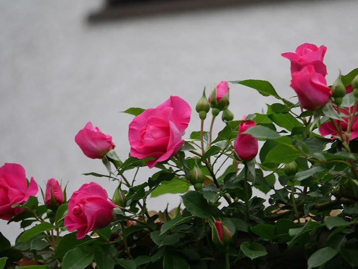 ツルうらら(Urara Climbing)の花がかなり咲いた。ツルバラ。2021年-019.jpg