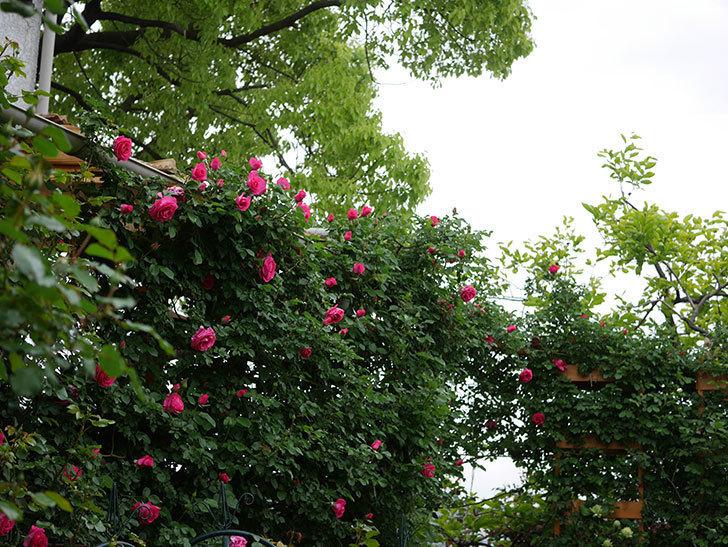 ツルうらら(Urara Climbing)の花がかなり咲いた。ツルバラ。2021年-020.jpg