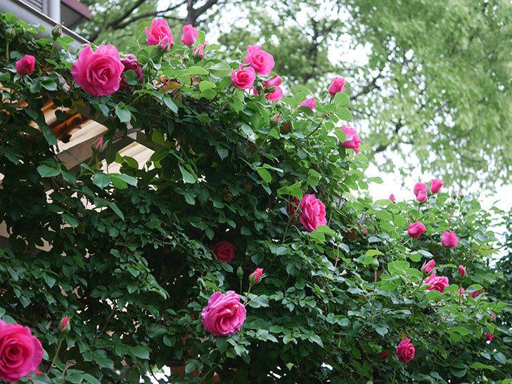 ツルうらら(Urara Climbing)の花がかなり咲いた。ツルバラ。2021年-022.jpg