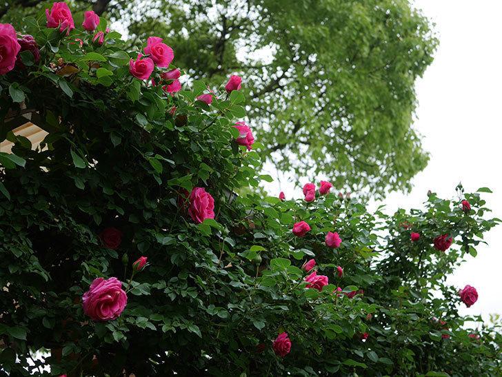 ツルうらら(Urara Climbing)の花がかなり咲いた。ツルバラ。2021年-023.jpg