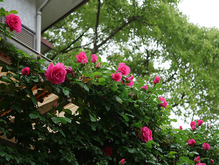 ツルうらら(Urara Climbing)の花がかなり咲いた。ツルバラ。2021年-024.jpg