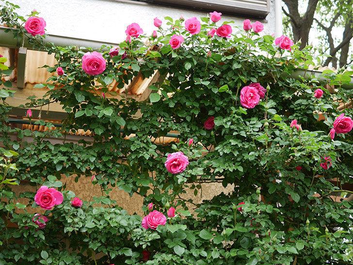 ツルうらら(Urara Climbing)の花がかなり咲いた。ツルバラ。2021年-025.jpg