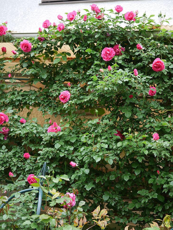 ツルうらら(Urara Climbing)の花がかなり咲いた。ツルバラ。2021年-026.jpg