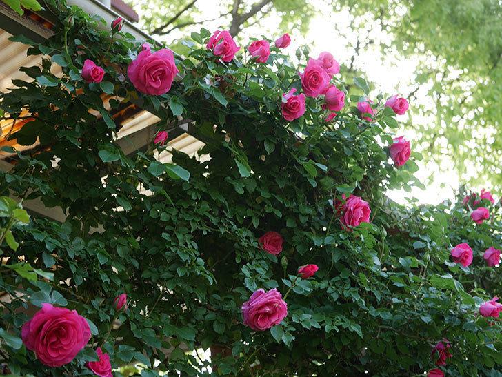 ツルうらら(Urara Climbing)の花がかなり咲いた。ツルバラ。2021年-027.jpg
