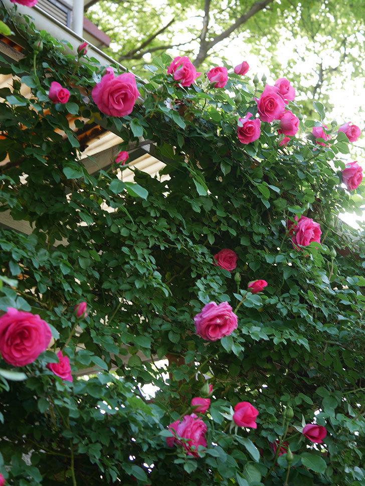 ツルうらら(Urara Climbing)の花がかなり咲いた。ツルバラ。2021年-029.jpg