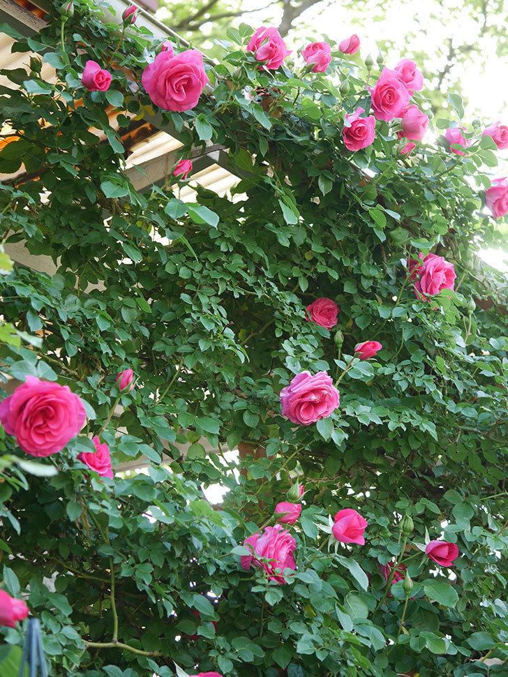 ツルうらら(Urara Climbing)の花がかなり咲いた。ツルバラ。2021年-030.jpg