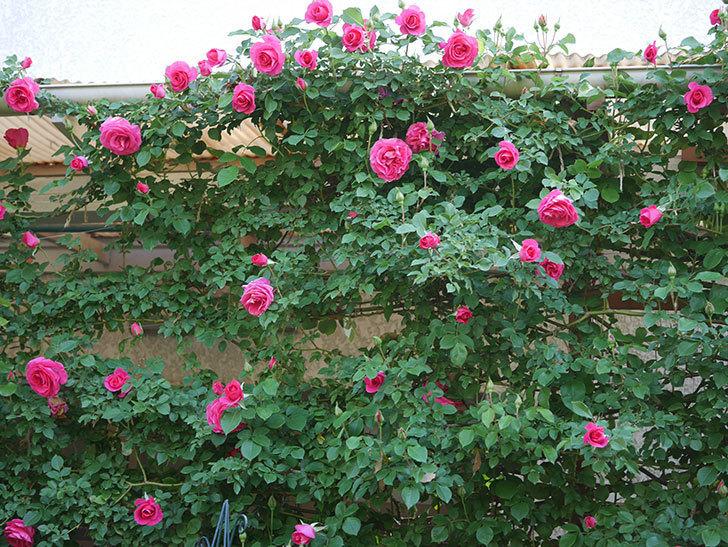 ツルうらら(Urara Climbing)の花がかなり咲いた。ツルバラ。2021年-031.jpg