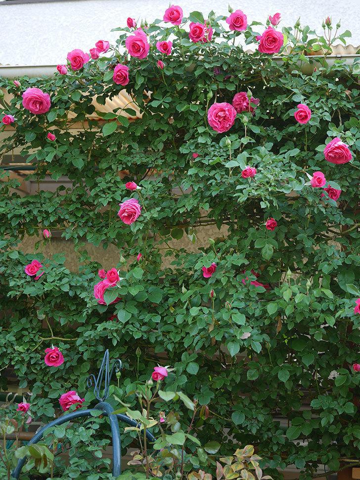 ツルうらら(Urara Climbing)の花がかなり咲いた。ツルバラ。2021年-032.jpg