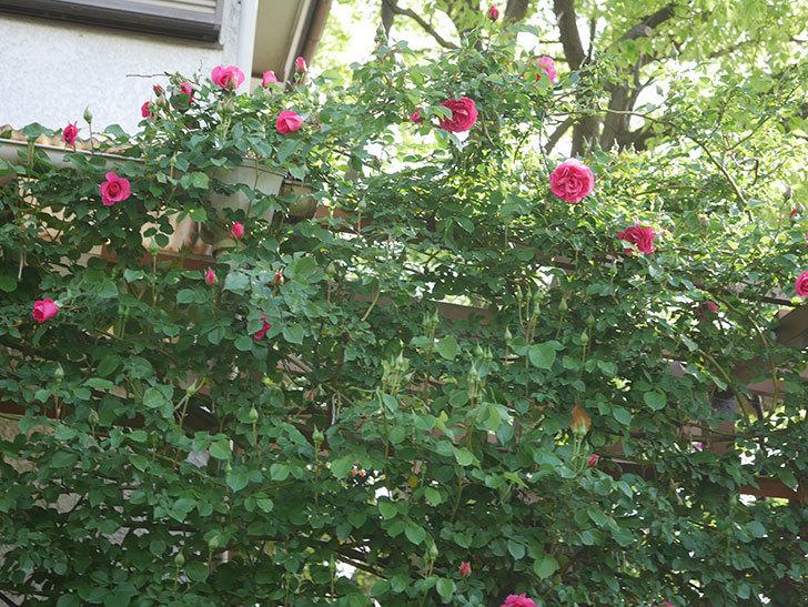 ツルうらら(Urara Climbing)の花がかなり咲いた。ツルバラ。2021年-033.jpg
