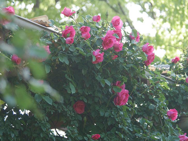 ツルうらら(Urara Climbing)の花がかなり咲いた。ツルバラ。2021年-034.jpg